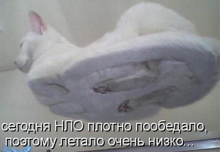 Родезийская кошка мы построим новый
