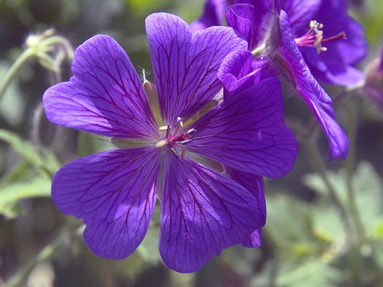 Полевые цветы названия и картинки 5