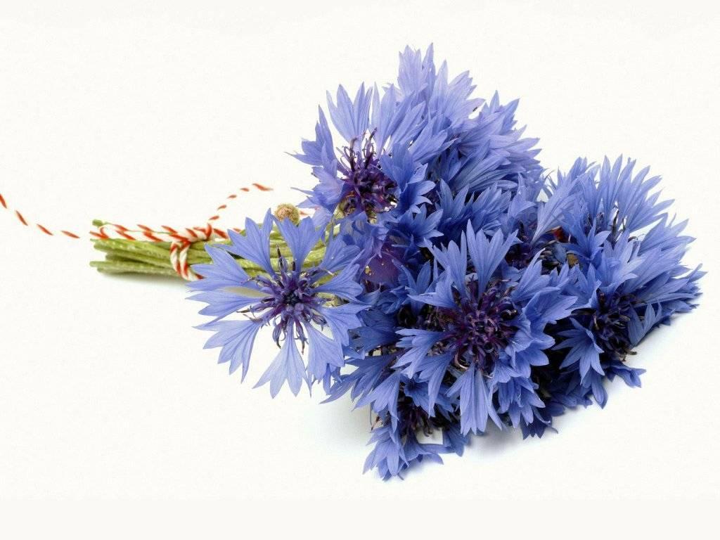 Цветок василёк в картинках 6