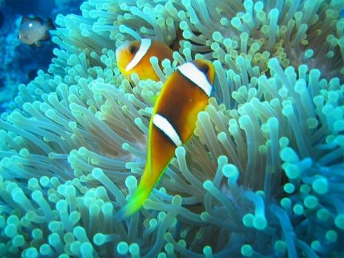 И снова рыбы-клоуны прячутся в актинии.