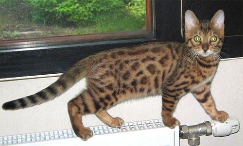 Бенгальский котенок леопардового окраса.
