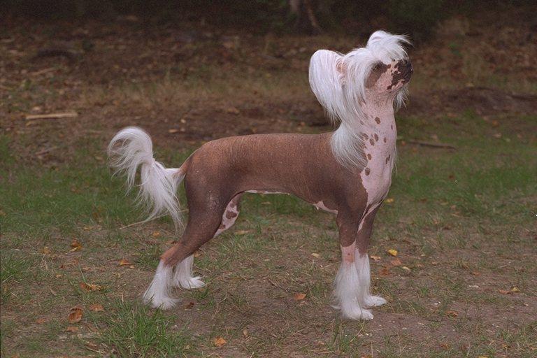 Китайская хохлатая собака :: DOGMY.RU.
