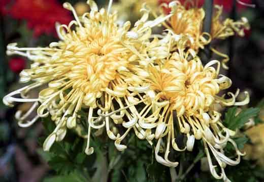 Не кажется ли вам, что название ХРИЗАНТЕМА слишком шикарное для такого простого цветочка.
