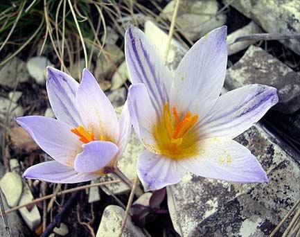 Описание этого редкого цветка смотрите в. Красная Книга... на сайте...