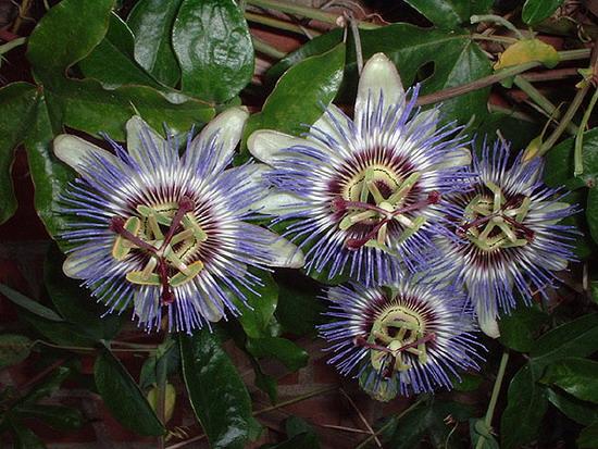 Пассифлора Passiflora 35456