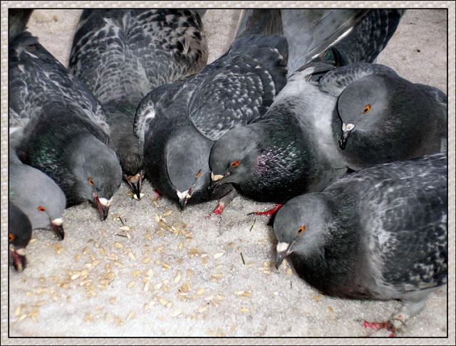 Кормление голубя в домашних условиях Lucky Car