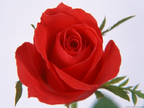 Add to Technorati Favorites.  Permanent Link to Rose Flower Red Color Picture Image.