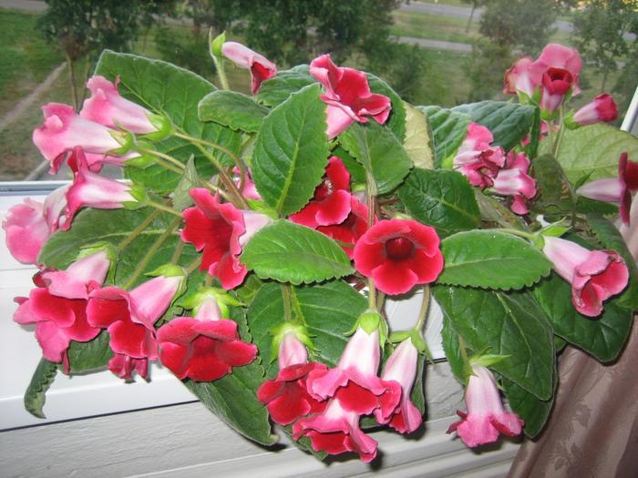 Фото цветы глоксинии