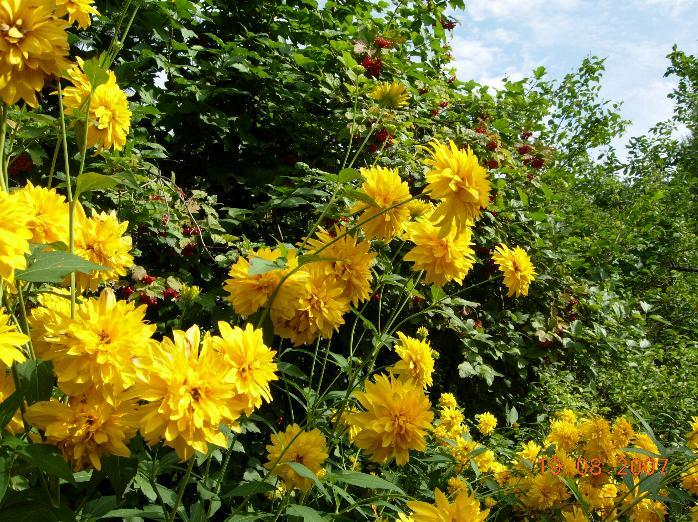 Горящие на солнцы цветы золотые шары