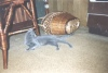 фото русской голубой кошки - фотография 9.