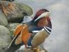 А это тебе птица водоплавающая, в Петродворце живёт.  Ответить.